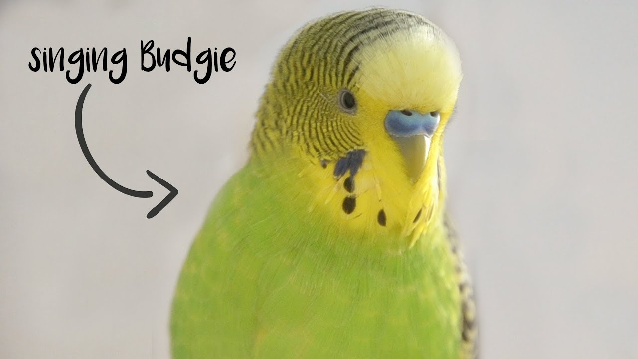 images/budgie.jpg